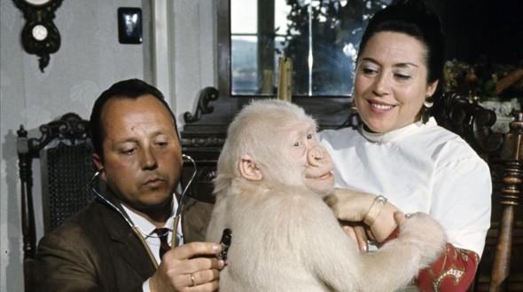 Barcelona 23 05 2016 Barcelona Fotos Ikunde - Museu de les Cultures del Mon Snowflake The Albino Gorilla En mai 1967 portrait d un gorille blanc albinos sur les genoux d une femme un homme le caressant Photo by Philippe Le Tellier Paris Match via Getty Images